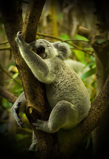 Eukaliptus Tree Koala Bear Koala One Animal Animal Themes No People Close-up Day Outdoors