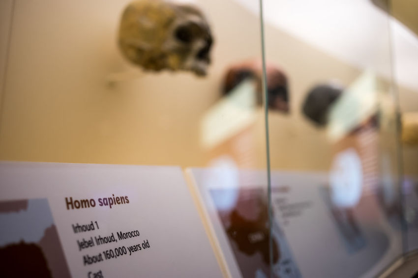 Bones Communication Cropped Interior Views Evolution  History Human Body Part Human Hand Indoors  Information Mammel Museum Natural Natural History Museum One Person Part Of Preparation  Selective Focus Single Object Skull Smithonian Washington Washington, D. C. White Background Interior Style