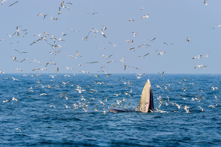 Bryde's whale eating anchovies. Anchovy Bryde's Whale Animal Themes Animal Wildlife Animals In The Wild Beauty In Nature Bird Blue Day Fish Flock Of Birds Flying Horizon Over Water Humpback Whale Large Group Of Animals Nature No People Sea Sea Life Seagull Sky Spread Wings Swimming Water Whale