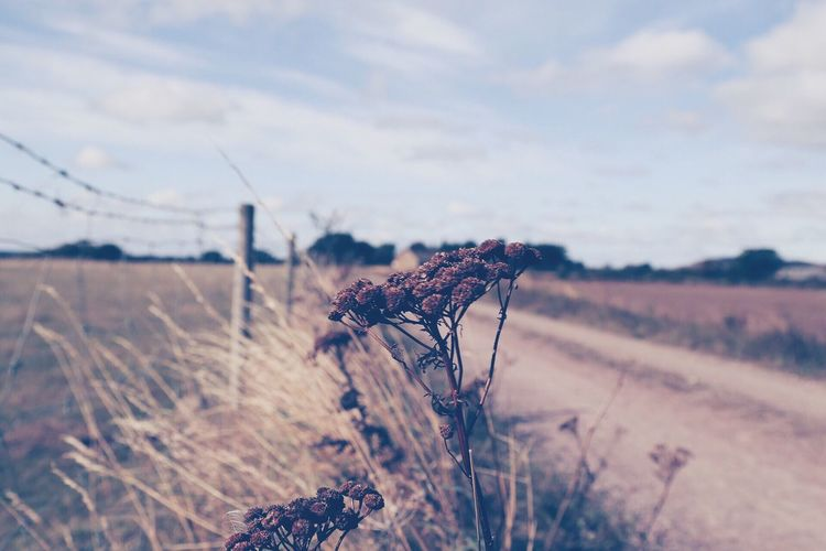 Plant Field Nature Landscape Sky No People Close-up Growth Outdoors Day Scenics Dried Plant Fragility Beauty In Nature Wilted Plant Cotton Plant