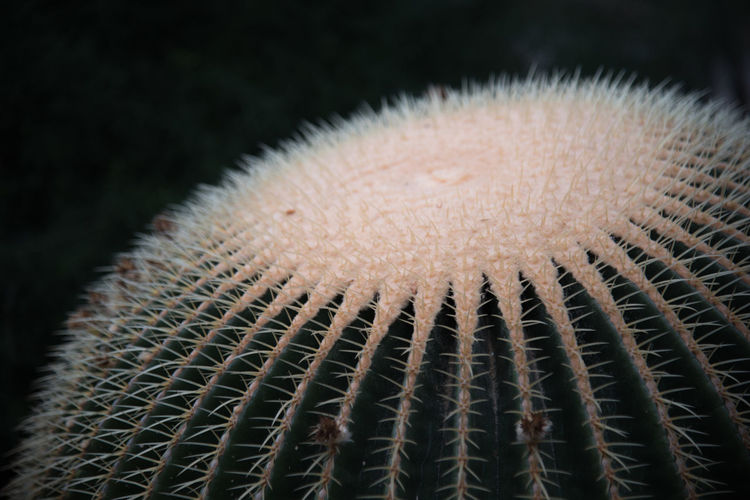 Of golden barrel cactus
