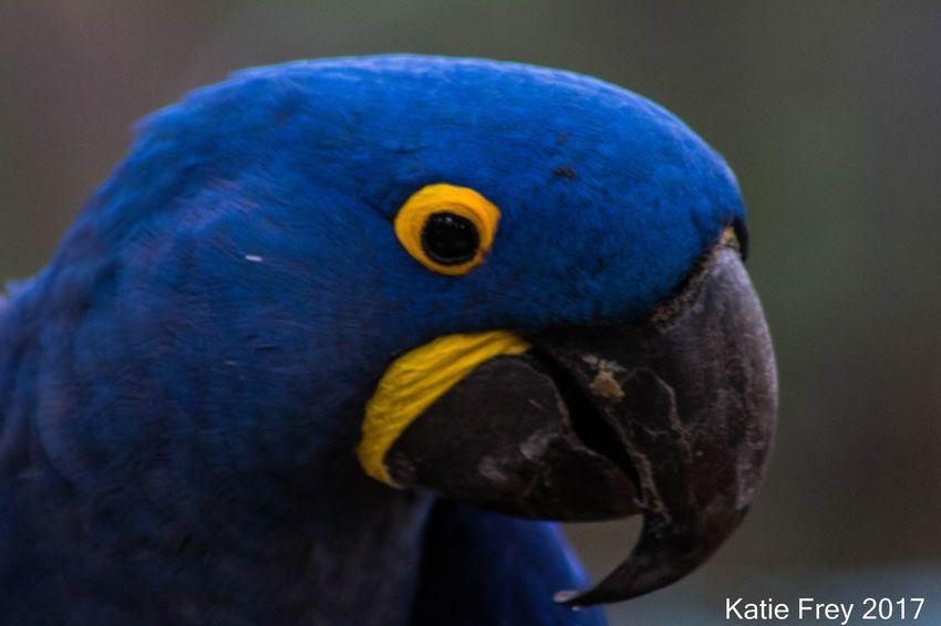 EyeEm Selects Blue Close-up No People One Animal Animal Wildlife Bird Animal Themes Beak Hyacinth Macaw