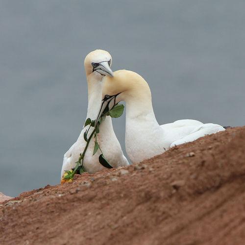 Animal Themes Animal Wildlife Animals In The Wild Basstölpel Bird Brautgeschenk Cliff Day Gannets Helgoland White Color