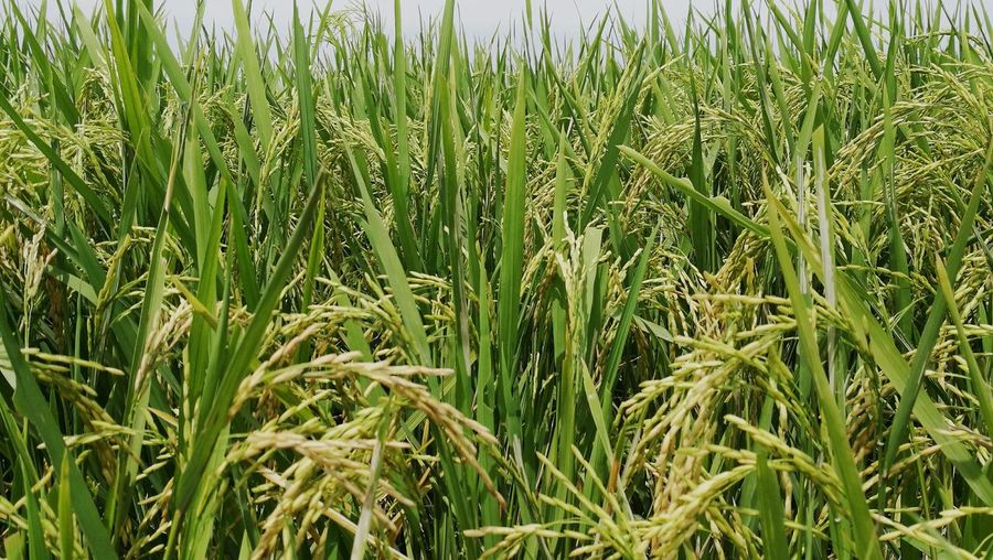 Paddy Paddy Field Paddy Is Life Check This Out