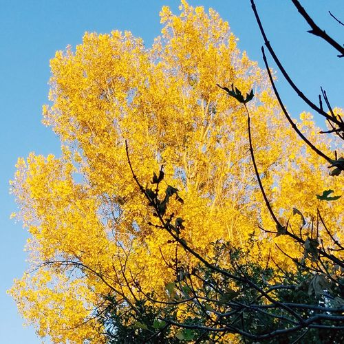 Backyard fall colors! Yellow Beauty In Nature Tree Nature Outdoors Day