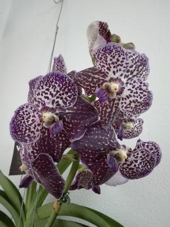 Vanda Flower Flower Head Fragility Orchid Beauty In Nature Purple Nature Plant Orchid Fiore🌼🌻🌺 Orchideen Orchid Flowers Fiori Orchids OrchidLover Petal Beauty In Nature Plant Relaxation Silhouette Fiori!!! Fioritura