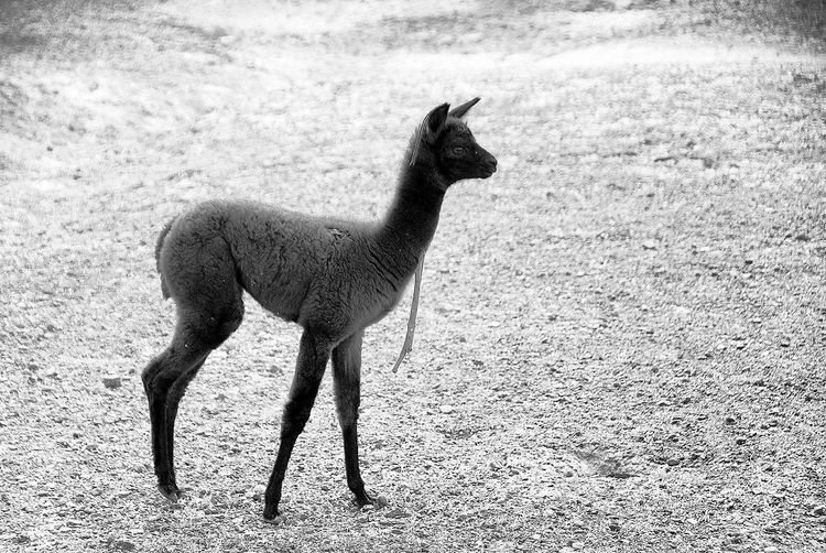 One Animal Animal Themes Mammal Day No People Outdoors Nature Black And White Photography Alpaca