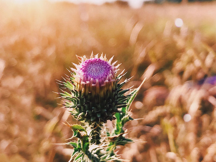 Close-up of thistle flower on field