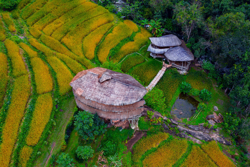 High angle view of rice paddy on field