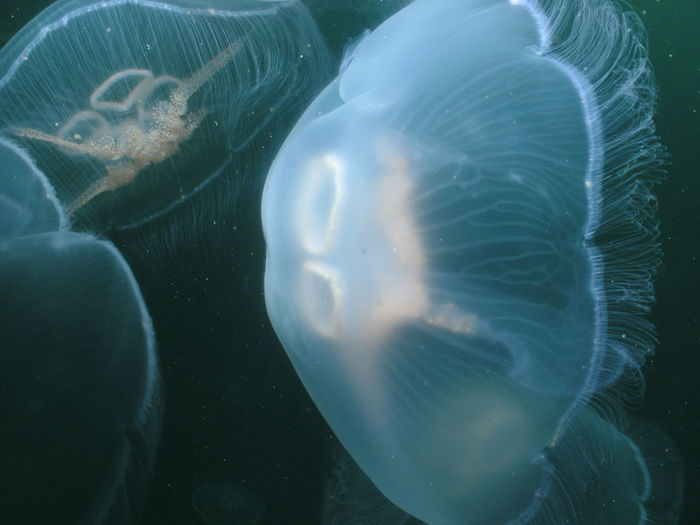 Close-up of jellyfish swimming underwater at aquarium