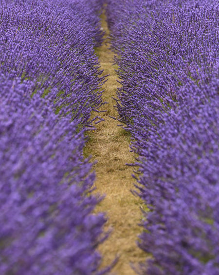Between rows of Lavender at Mayfield Lavender Farm, Banstead, England Britain British England, UK Farm Field Nature Rural Banstead Countryside England Flower Flowers Lavender Mayfield Outdoors Pathway Pattern Purple Row Rows Summer