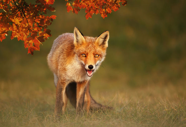 Portrait of red fox standing on grass during autumn