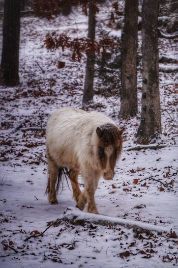 One Animal Animal Themes Snow Cold Temperature Winter Nature Outdoors Domestic Animals Beauty In Nature Minature Horses Horses Horse Photography  EyeEm Animal Lover Scenics Nature Photography EyeEm Nature Lover Naturelover Nature On Your Doorstep Nature_ Collection  Naturelovers Nature_perfection Nature Lover EyeEm Best Shots - Nature Eyeemphotography Eye For Photography