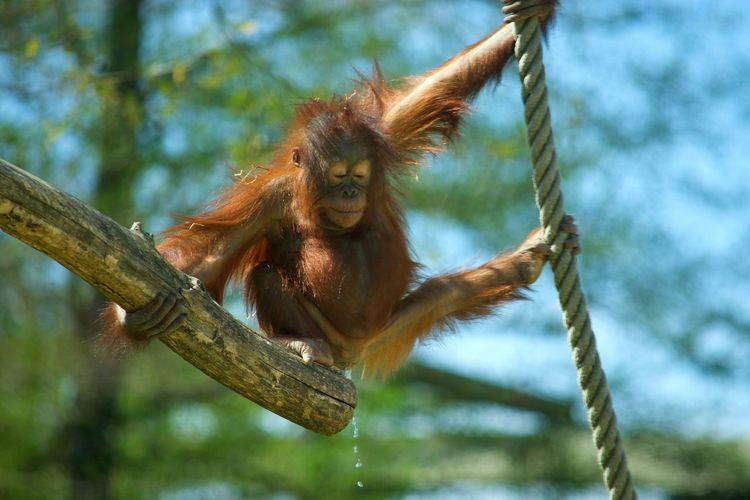 Animal Wildlife Animal Monkey Nature Orangutan Branch No People Animal Themes Orangoutan Singe Urine Pipi Primate Zoo Zoophotography Zoo De Beauval à Beauval