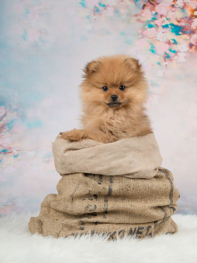 Portrait Of Dog In Sack