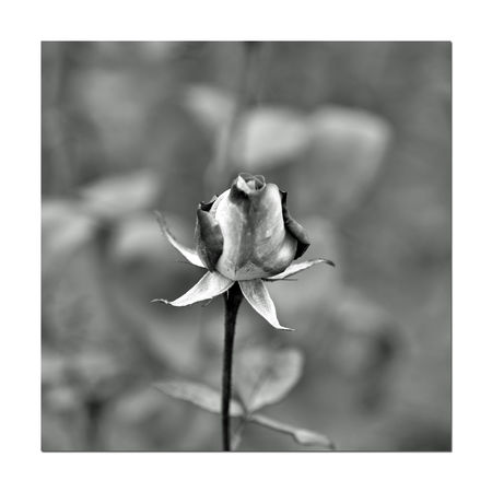 Monochrome Flowers 10 The Gardens At Lake Merritt Lakeside Park Oakland, Ca. Flowers Flower Collection Blooms Rosé Flower Head Blossoms  Garden Photography Monochrome_Photography Monochrome Black & White Black & White Photography Black And White Black And White Collection  Bnw_flowers Bnw_captures Botany Horticulture Close-up Fragility Nature