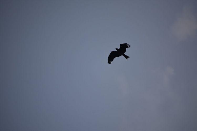 Flying Bird Sky