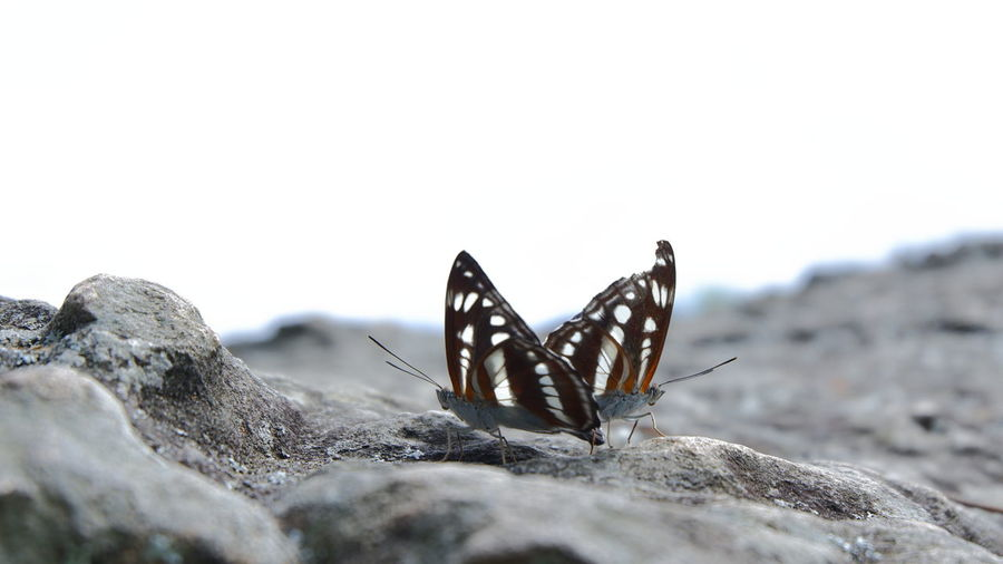 Close-up of butterflies on rock