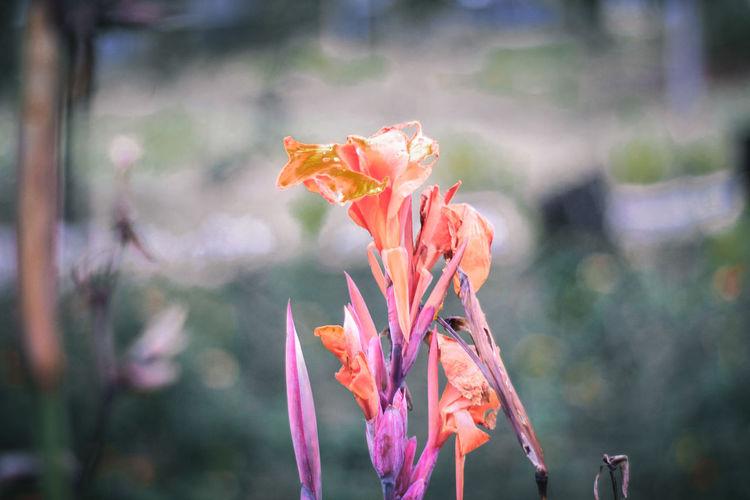 Orange rose flower