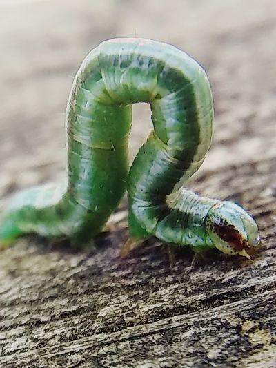 Inch worm