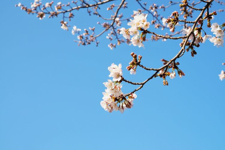 Spring🌸 Japan Primavera Sakura Cherry Blossom Pink Flower Flower Spring Plant Tree Flowering Plant Fragility Flower Beauty In Nature Branch Growth Sky Blue Freshness Blossom Nature Springtime Low Angle View Clear Sky Day