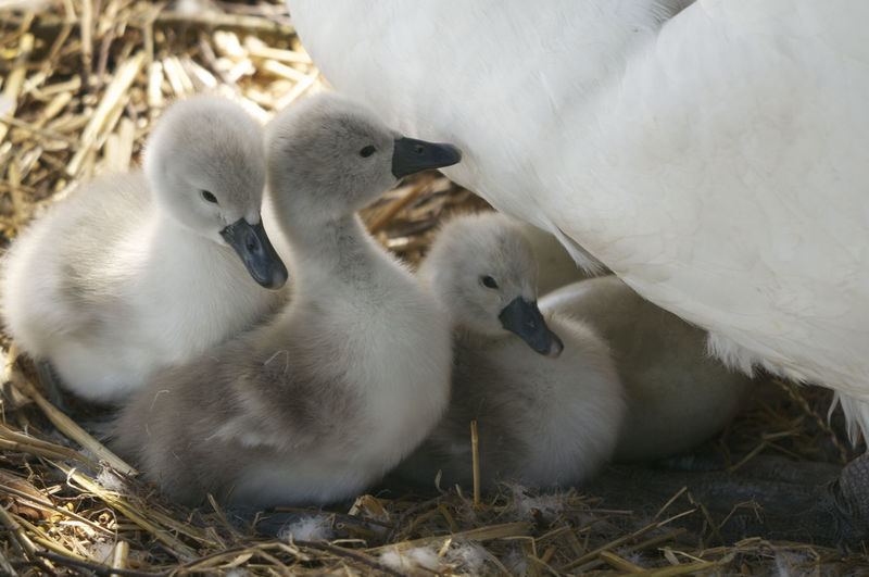 Close-Up Of Swan With Cygnets