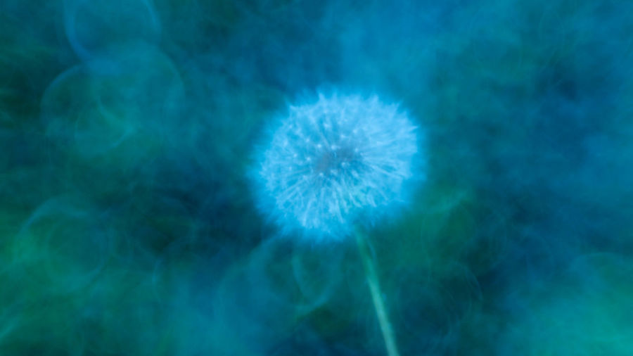 Abstract Backgrounds Beauty In Nature Blue Close-up Dandelion Dandelion Seed Flower Flower Head Flowering Plant Fragility Freshness Inflorescence Nature No People Outdoors Plant Softness Vulnerability  White Color