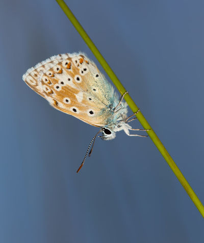 Common Blue Butterfly. Animal Themes Animal Wildlife Animals In The Wild Beauty In Nature Butterfly - Insect Close-up Common Blue Butterfly Day Insect Nature No People One Animal Outdoors