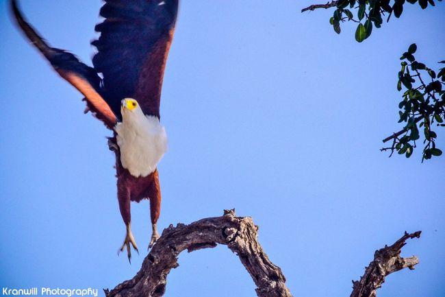 Bird Photography FishEagle Birdwatching Birds In Flight Birds_collection