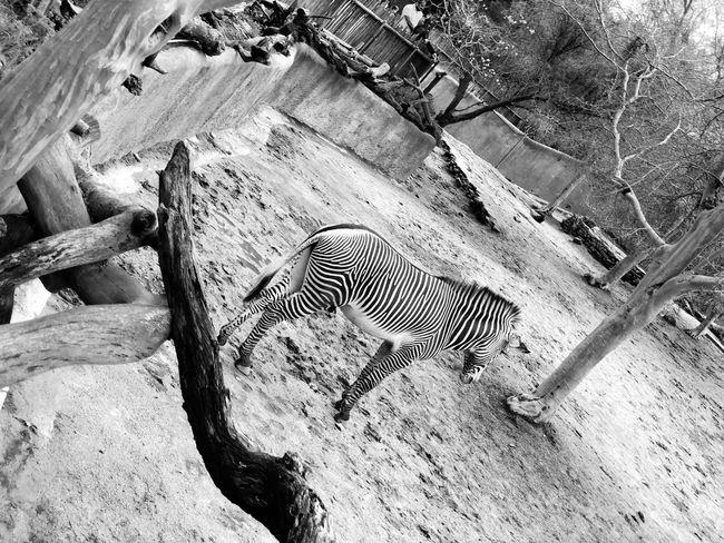 Animal Love Animal Photography Black & White Black And White Blackandwhite Zebra Stripes Zebra Crossing Zebra High Angle View Animals In The Wild Animal Wildlife No People One Animal Day Nature Vertebrate Mammal Outdoors Land Sunlight Animal Body Part Animals In Captivity