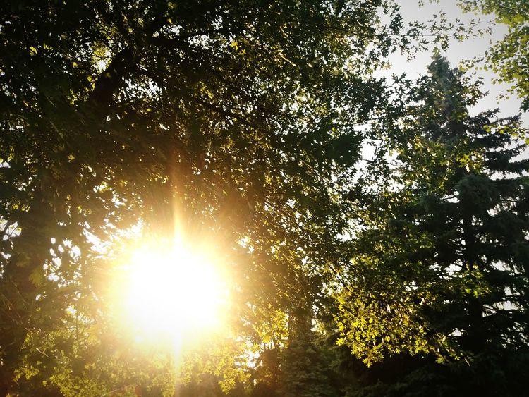 Tree Branch Forest Sunlight Silhouette Sky