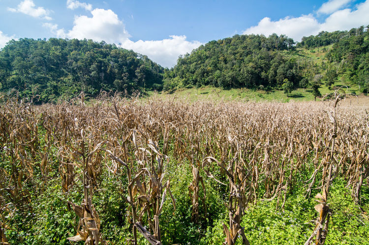 Agriculture Beauty In Nature Cloud - Sky Corn Corn Field Crop  Day Dry Corn Farm Field Freshness Green Color Growth Landscape Lush - Description Nature No People Outdoors Plant Plantation Rural Scene Scenics Sky Tree