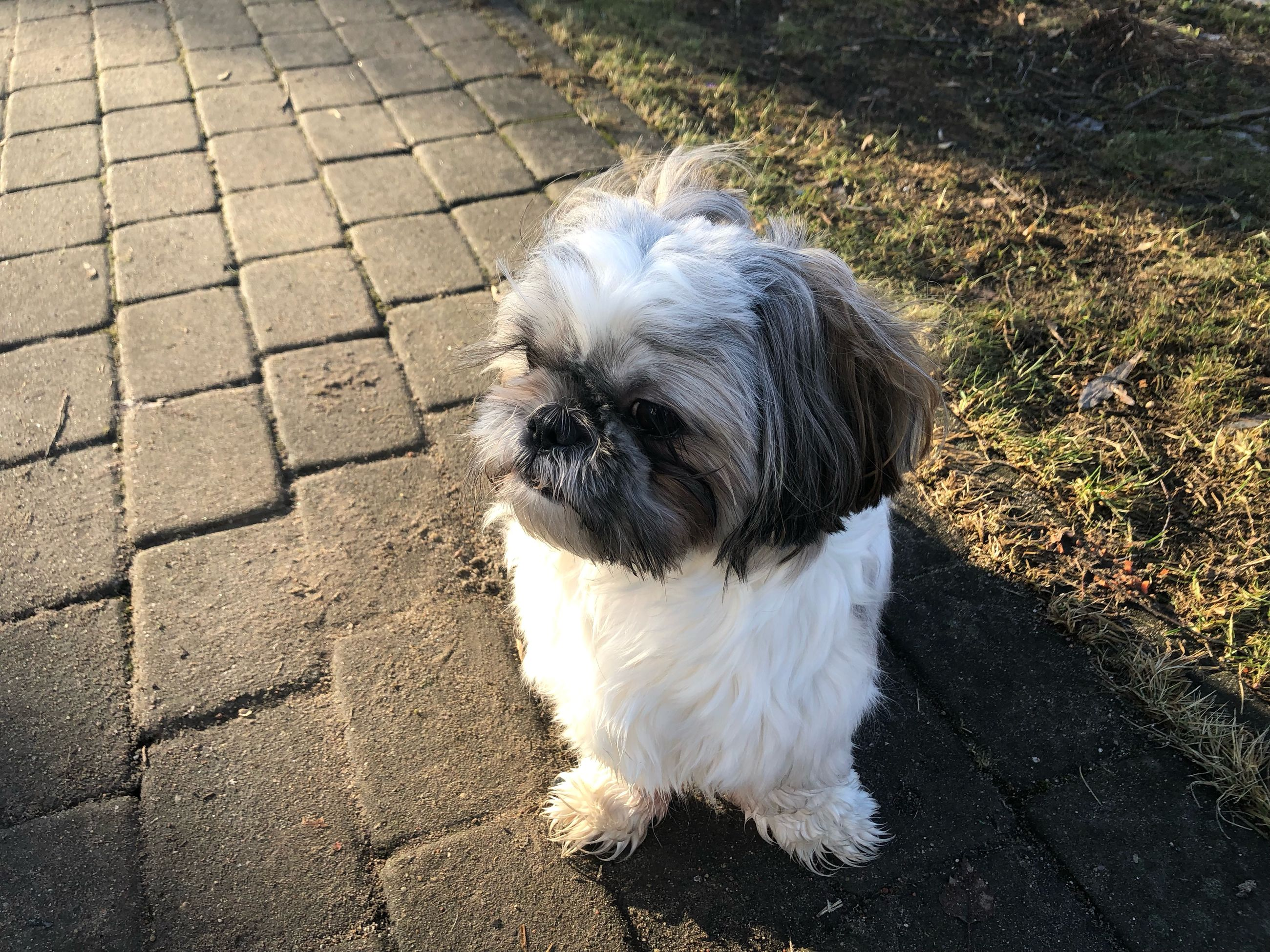 domestic, pets, domestic animals, one animal, mammal, animal themes, animal, canine, dog, vertebrate, shih tzu, lap dog, high angle view, day, small, no people, white color, animal hair, outdoors, focus on foreground