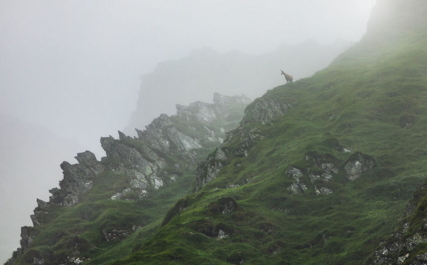 Chamois in a foggy day from fagaras mountains, romania.