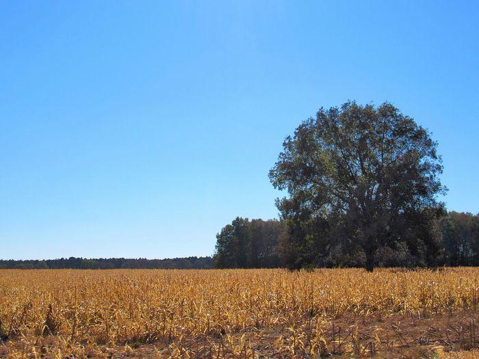tree in corn