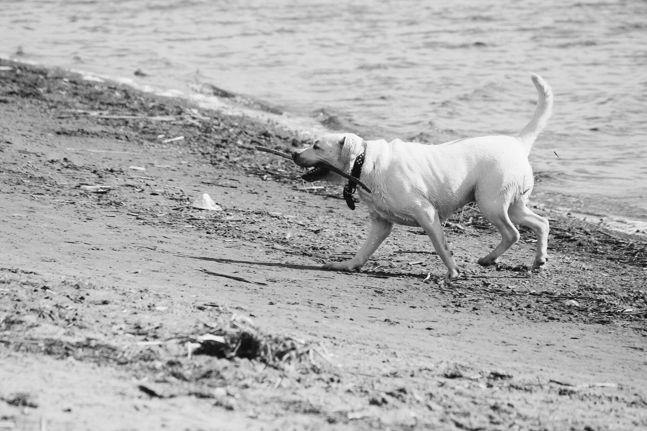 canine, dog, one animal, domestic, pets, domestic animals, animal, animal themes, mammal, land, beach, vertebrate, water, sea, motion, sand, selective focus, day, walking, no people