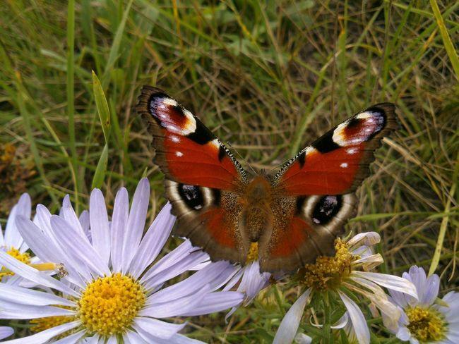 There's no any photo editing. Без фоторедактирования. павлиний глаз и Ромашки. The Emperor Moth & blue Ox-eye Daisies. Camomiles Papillon Paon Butterfly Summer August Balancing Act