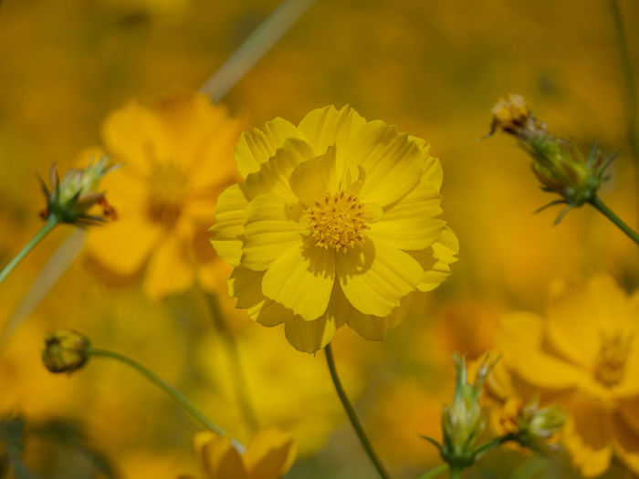 Orange flower concept natural beauty flower Colorful Flowering Plant Flower Plant Yellow Freshness Fragility Vulnerability  Growth Beauty In Nature Close-up Petal Inflorescence Flower Head Focus On Foreground Nature No People Outdoors Day Selective Focus Plant Stem Pollen