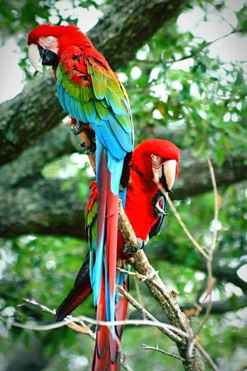 Beautiful parrots. Birds Parrot Macaw Animal Wildlife Bird Branch Perching Animals In The Wild Tree Animal Themes Multi Colored Birds_collection Natural Beauty Bird Photography Feather  Low Angle View Animals In The Wild Macaw Parrot Feathers Parrots