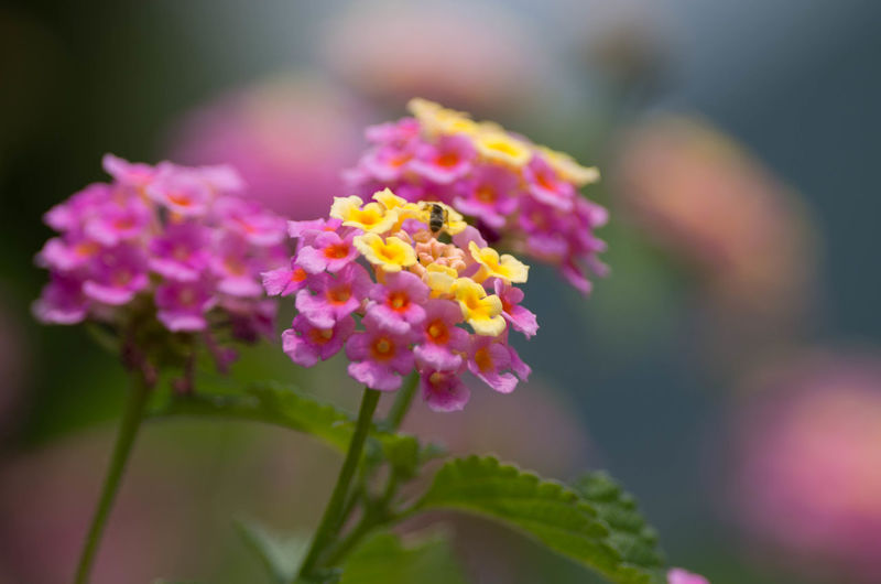 Beauty In Nature Blooming Bokeh Close-up Day EyeEm EyeEm Best Shots EyeEm Gallery EyeEm Nature Lover EyeEmNewHere Flower Flower Head Focus On Foreground Fragility Freshness Growth Lantana Camara Macro Nature No People Outdoors Petal Pink Color Plant Take A Walk Photography