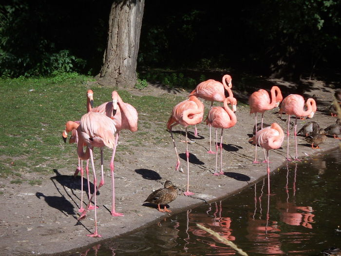 Greater flamingoes and ducks by lake shore
