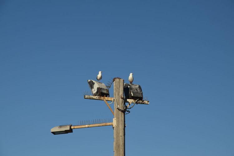 Gulls Gull Seagull Two Sea Gulls Two Gulls Street Light Blue Sky Sky Scape Clear Sky Weather Vane Bird Blue Sky