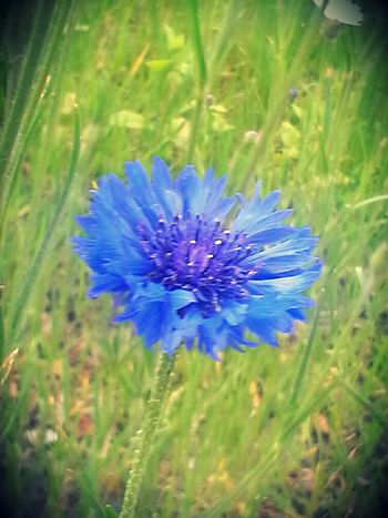 Kornblume Flowers Outdoors Zwanzig15