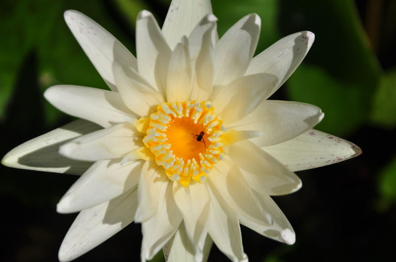Close-up of white water lily blooming during sunny day