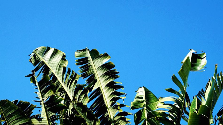 Banana Bananas Banana Tree Banana Leaf Green Green Color Green Green Green!  Plants Plants 🌱 Plants And Flowers Plants Collection Color Palette Tree Trees Trees And Sky Abstract Summer Mauritius Exotic Exotic Flowers Planting  Plantography Plant Photography
