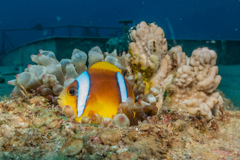 Clownfish in the Red Sea Colorful and beautiful, Eilat Israel Sea Water Animal Wildlife Animals In The Wild Underwater Swimming Sea Life Animal Animal Themes Marine Fish UnderSea Vertebrate Coral Nature Group Of Animals No People Invertebrate Beauty In Nature Clown Fish Ecosystem