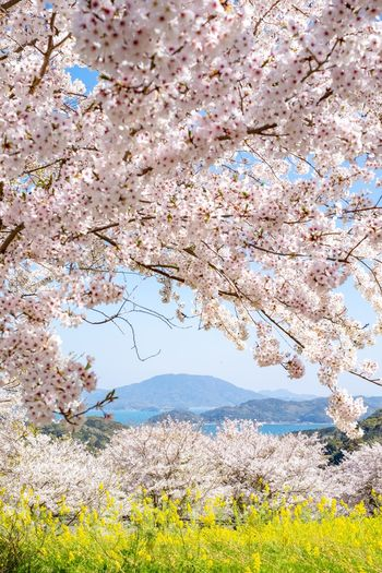 SAKURA🌸 Plant Flowering Plant Growth Nature No People Cherry Blossom Day