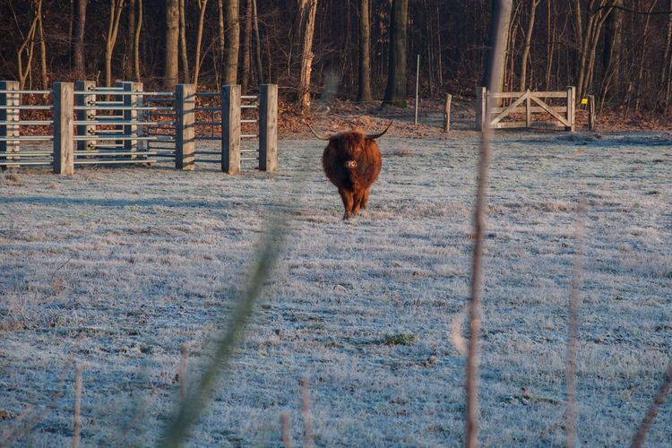 - A young red bull, face to face - Animal Themes Mammal One Animal Nature Tree Forest Highlands Netherlands Red Bull RedBull Cold Temperature Frosty Mornings Landscape Beauty In Nature Frost Bull Horned Highland Cattle Today Eyemphotography Eye4photography  Nikon