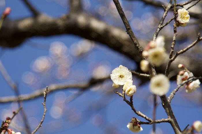 Nikon D7100 /AF-S Nikkor 24-120mm f/4G ED VR / ISO 200 / 110mm / f4 - 1/1250 Beauty In Nature Blossom Bokeh Botany Branch Close-up Day Flower Focus On Foreground Nature No People Plum Blossom Tree Twig White Color EyeEmNewHere