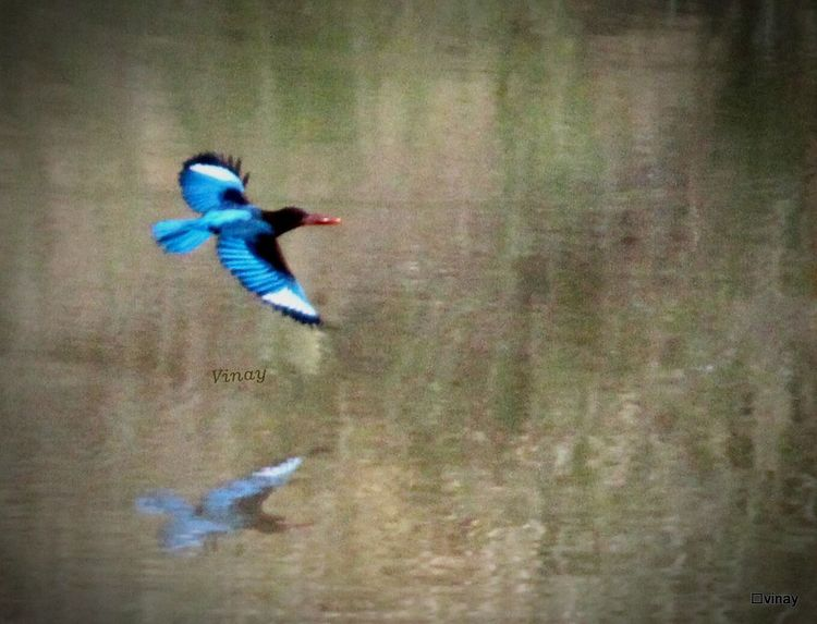 King Fisher Birds Of EyeEm  Lake Side View Beuty Of Nature Photography In Motion